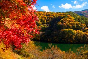 紅葉のモミジともみじ湖 箕輪ダム の写真素材 [FYI01497024]
