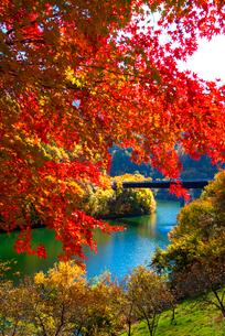 紅葉のモミジともみじ湖 箕輪ダム の写真素材 [FYI01497074]