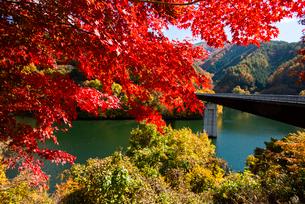 秋のもみじ湖 箕輪ダム の写真素材 [FYI01497109]