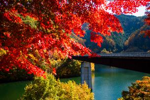 紅葉のモミジともみじ湖 箕輪ダム の写真素材 [FYI01497128]