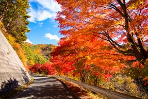 紅葉するもみじ湖湖畔のカエデ並木の写真素材 [FYI01497171]