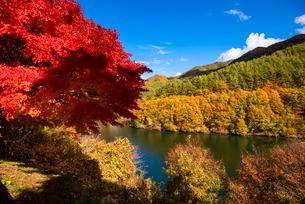 紅葉のモミジともみじ湖の写真素材 [FYI01497182]