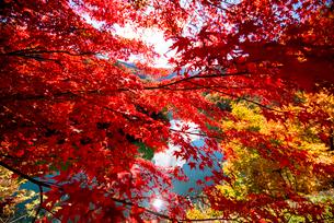 カエデ紅葉と湖の写真素材 [FYI01497186]