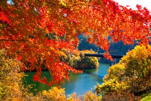 紅葉のモミジともみじ湖 箕輪ダム の写真素材 [FYI01497189]