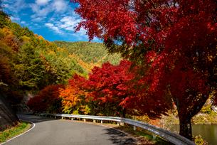 カエデ紅葉の並木道の写真素材 [FYI01497231]