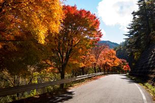 もみじ湖湖畔の紅葉の並木の写真素材 [FYI01497276]