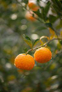 柚子の写真素材 [FYI01497278]
