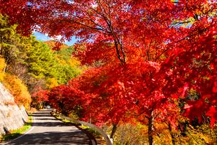 紅葉のカエデ並木道路 の写真素材 [FYI01497289]