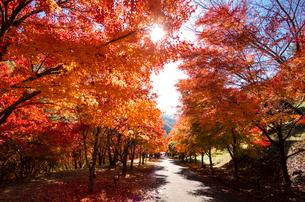 末広広場 カエデ紅葉の道の写真素材 [FYI01497296]