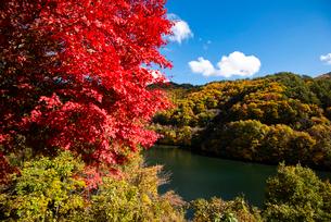 秋のもみじ湖 箕輪ダム の写真素材 [FYI01497312]