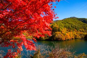 紅葉するカエデともみじ湖 箕輪ダム の写真素材 [FYI01497324]