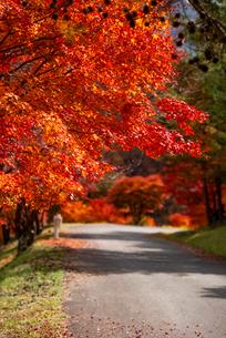 もみじ湖 紅葉のトンネルの写真素材 [FYI01497341]
