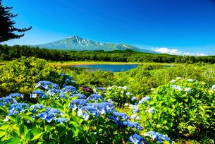 大谷地池湖畔のアジサイと鳥海山の写真素材 [FYI01497351]
