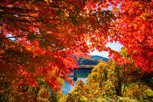 紅葉のモミジともみじ湖 箕輪ダム の写真素材 [FYI01497357]