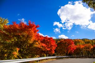 もみじ湖湖畔の紅葉の並木の写真素材 [FYI01497435]