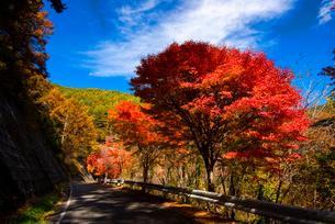 もみじ湖湖畔の紅葉のカエデ並木の写真素材 [FYI01497518]