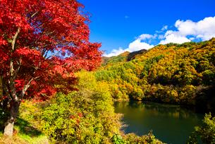 秋のもみじ湖 箕輪ダム の写真素材 [FYI01497568]