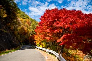 モミジ紅葉の並木道の写真素材 [FYI01497592]
