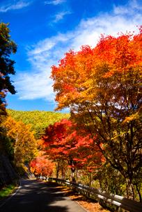 もみじ湖湖畔の紅葉のカエデ並木(箕輪ダム)の写真素材 [FYI01497621]