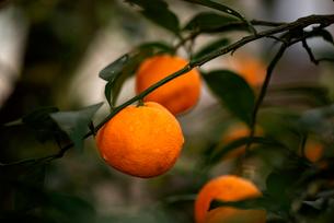 柚子の写真素材 [FYI01497655]