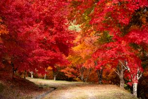 もみじ湖 紅葉のトンネルの写真素材 [FYI01497696]
