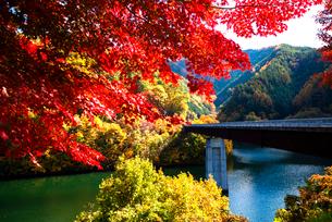 紅葉のモミジともみじ湖 箕輪ダム の写真素材 [FYI01497719]