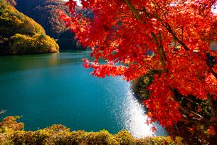 カエデの紅葉ともみじ湖(箕輪ダム)の写真素材 [FYI01497754]
