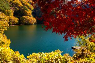 秋のもみじ湖 箕輪ダム の写真素材 [FYI01497776]