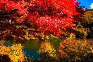 紅葉のモミジともみじ湖 箕輪ダム の写真素材 [FYI01497799]