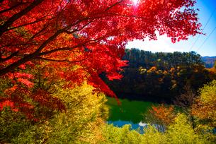 カエデ紅葉と湖(箕輪ダム)の写真素材 [FYI01497821]