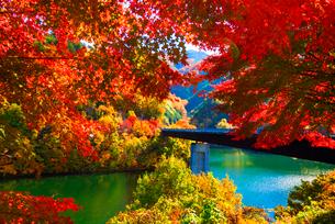 紅葉のモミジともみじ湖 箕輪ダム の写真素材 [FYI01497829]