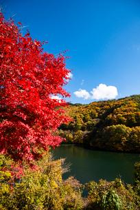紅葉するもみじ湖 箕輪ダム の写真素材 [FYI01497837]