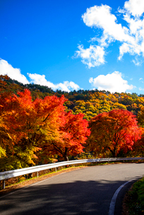 もみじ湖湖畔の紅葉の並木の写真素材 [FYI01497854]