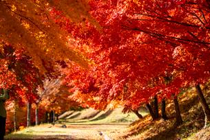 末広広場 カエデ紅葉の小道のトンネルの写真素材 [FYI01497857]