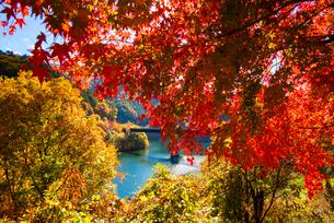 紅葉のモミジともみじ湖 箕輪ダム の写真素材 [FYI01497867]
