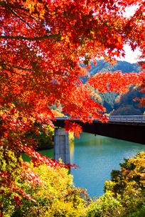 紅葉のモミジともみじ湖 箕輪ダム の写真素材 [FYI01497892]