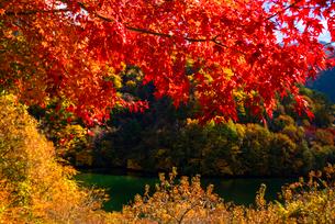 紅葉のモミジともみじ湖 箕輪ダム の写真素材 [FYI01497922]