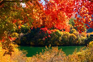 紅葉のモミジともみじ湖 箕輪ダム の写真素材 [FYI01497924]