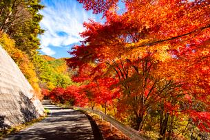 紅葉のカエデ並木道路 の写真素材 [FYI01497950]