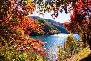 秋のもみじ湖 箕輪ダム の写真素材 [FYI01498049]