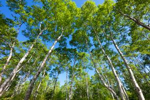新緑の白樺林の写真素材 [FYI01498050]
