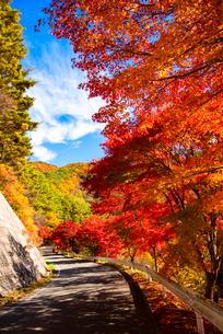 紅葉のカエデ並木道路 の写真素材 [FYI01498089]