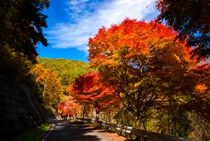 もみじ湖湖畔の紅葉のカエデ並木(箕輪ダム)の写真素材 [FYI01498105]