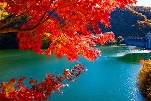 紅葉のカエデと箕輪ダム湖の写真素材 [FYI01498119]
