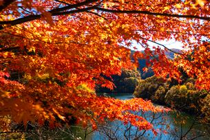 カエデ紅葉ともみじ湖(箕輪ダム)の写真素材 [FYI01498127]