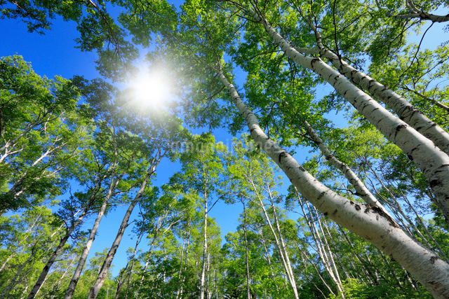新緑の白樺林の写真素材 [FYI01498154]