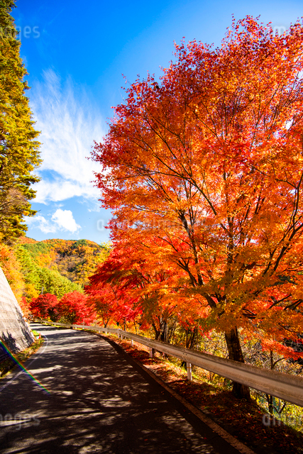紅葉するもみじ湖湖畔のカエデ並木の写真素材 [FYI01498165]