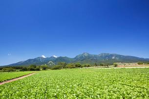 野辺山高原のレタス畑と八ヶ岳の写真素材 [FYI01498266]