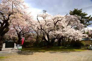 桜満開の水沢公園の写真素材 [FYI01498283]