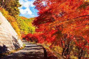 カエデ並木紅葉のもみじ湖湖畔(箕輪ダム)の写真素材 [FYI01498338]